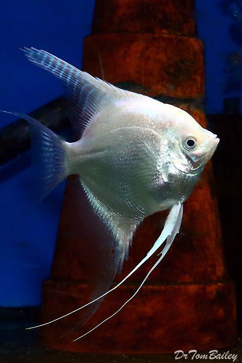 Platinum Angelfish