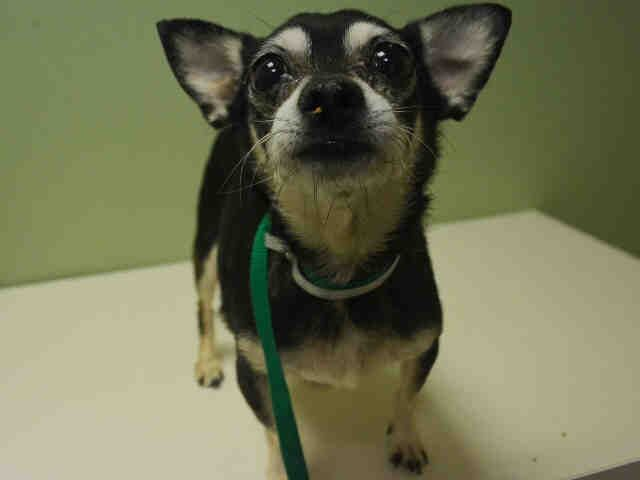 SPIKE - A1096272 - - Manhattan  Please Share:TO BE DESTROYED 11/13/16 **NEEDS A NEW HOPE RESCUE TO PULL** -  Click for info & Current Status: http://nycdogs.urgentpodr.org/spike-a1096272/