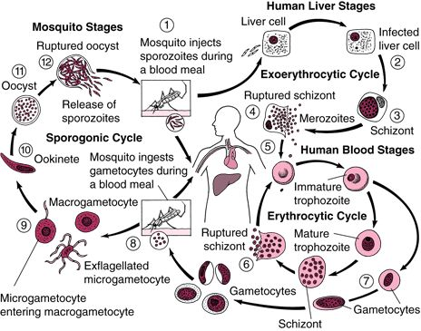 malaria life cycle...complicated enough?
