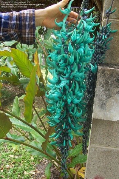 The Jade Vine, known for its spectacular blue-green, claw-shaped flowers, produces a hanging inflorescence of color seldom seen in any other flower.  The flower is pollinated by bats which will hang upside down to drink the nectar.  These rare flowers are now hardly seen in the wild and are believed to be threatened by the deforestation of their natural habitat in the Philippines.