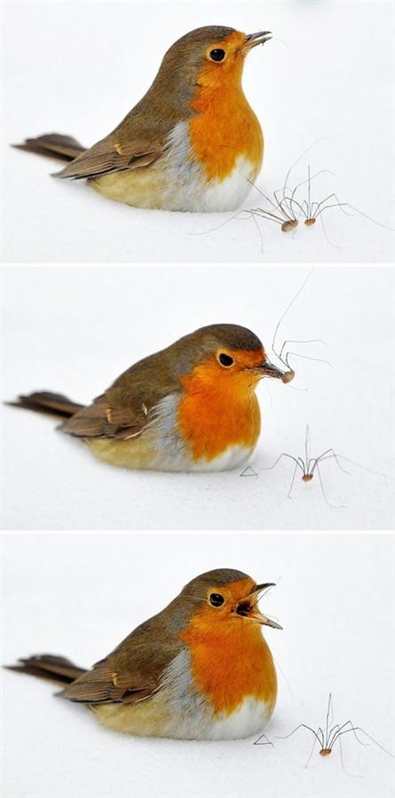 Mejores 81 imágenes de WISŁAKI_robin / rudzik en Pinterest | Pájaros ...