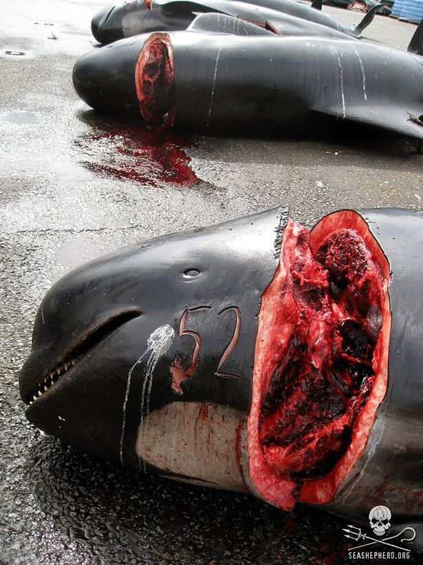Sea of blood: Over 1000 pilot whales slaughtered by hunters off the Faroe Islands
