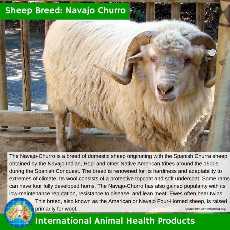 #navajochurrosheep #navajo #churro #navajochurro #sheep #ram #ewe #lamb #sheepbreed #breed #facts #green #iah #iahp #internationalanimalhealth #poultry #animal #facts #breeds #livamol #protexin