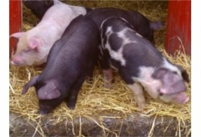 X Oxford Sandy and Black weaners