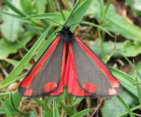 Sint Jacobsvlinder (Tyria jacobaeae)   De vlinder vliegt overdag en kruipt tussen het gras als hij geland is. De rupsen zijn opvallend geel met zwart gestreept.