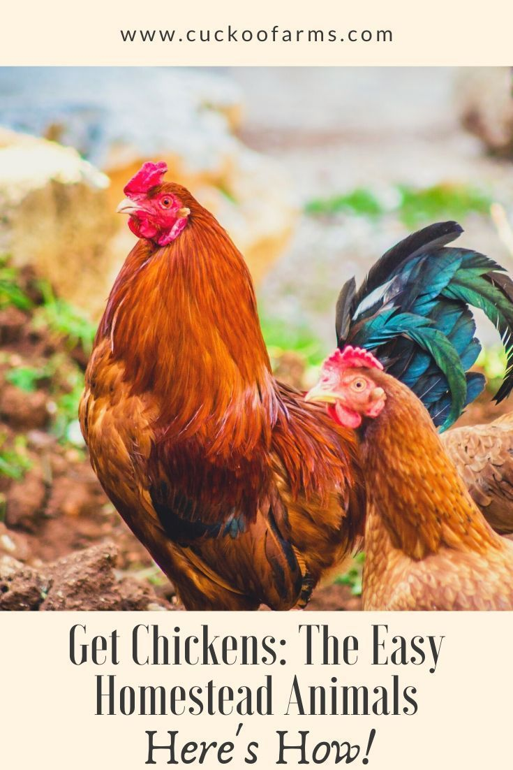 Chickens The Easy Homestead Animal Chickens Chickens Backyard Homestead Chickens