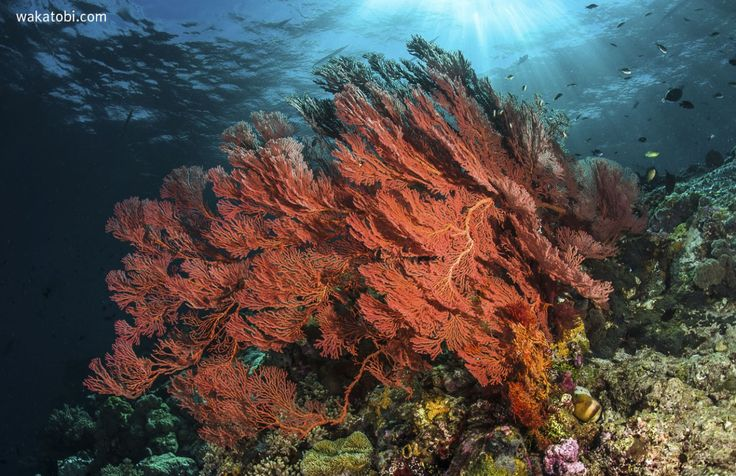 In the sun-dappled shallows, the reef with its garden of hard and soft corals presents a virtual wonderland of strange shapes and colors. (Photograph: Wayne MacWilliams)