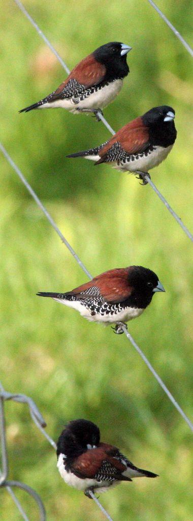 Red-backed Mannikin Birds (Spermestes bicolor) Rooirugfret | Bothas Hill, South…