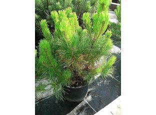 Rostlina | Borovice, Pinus