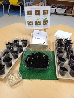 Kindergarten plant inquiry