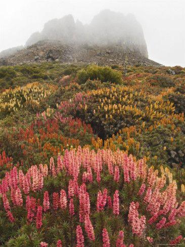 Summer Wildflower Display of Richea Scoparia, Endemic Tasmanian Alpine Heath, Damascus Gate Photographic Print