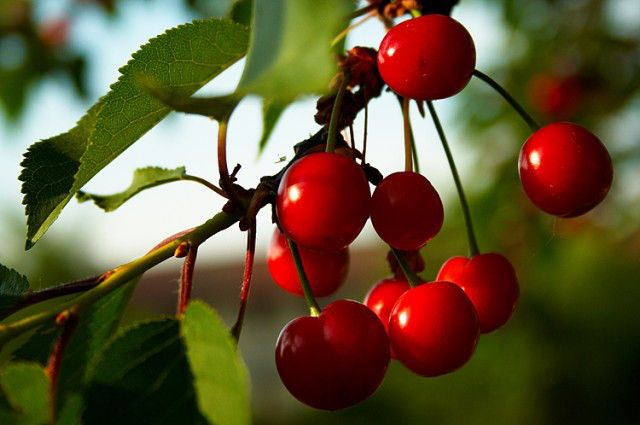 The time has come, but it doesn't last long: from late June to early July, it's cherry-picking season! Make sure not miss it and head to one of these U-pick orchards in the NYC area. Be advised that you may have to provide your own buckets or bags and always (always!) call the orchard or farm or check for the latest updates on a growers' Facebook page before making the trek. (As any good farmer...