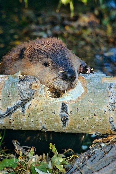 Beaver (Castor canadensis) chewing on fallen cottonwood tree, Western U.S., Fall.