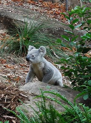"""Magnetic Island (off Townsville, Queensland); """"Forts Walk"""" in Ntl. Park one of the best places to spot koalas in the wild"""