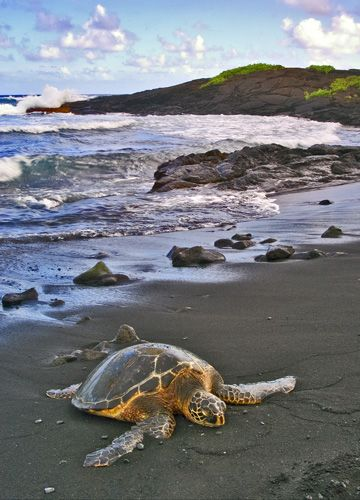 turtle on black sand beach, Big Isle