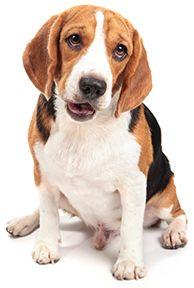 Beagle Breed Guide