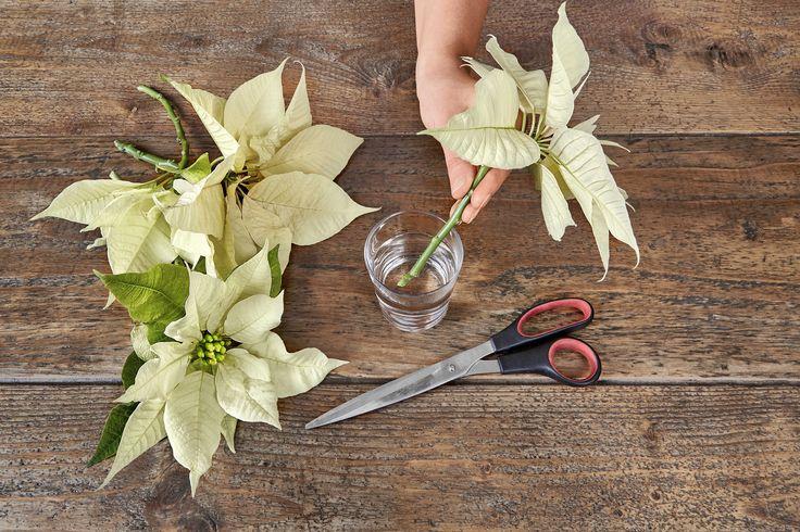 #Stella di #Natale, come curarla e usarla per le decorazioni per le #feste:   https://giardinote.wordpress.com/2015/12/21/decorazioni-con-la-stella-di-natale/