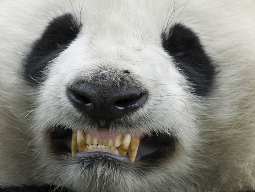 Smiling Panda Teeth Go to link   PANDA cuteness and fun ...