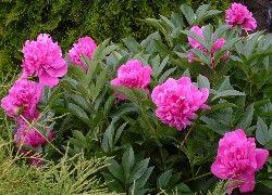 Różowe, Piwonie, Ogród