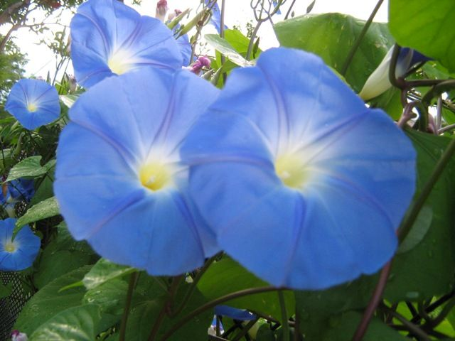 Climbing Vine Trellis Ideas Part - 40: Morning Glory - A Climbing Vine That Comes To Full Bloom In Early Morning  And Closes. Trellis IdeasVine ...