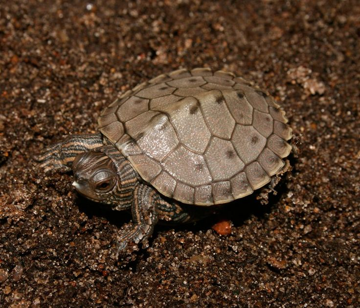 Quachita map turtle male hatchling coming too with our Mississippi Map- gonna be hammer & Weezy