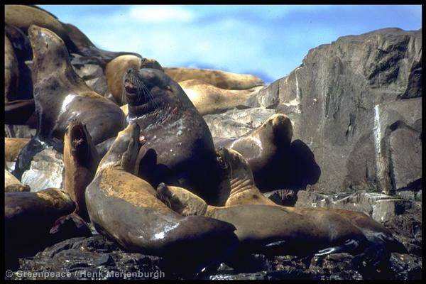 the environmental issues of the steller sea lions Steller's sea lion - overview - view incredible steller's sea lion videos  the  causes are still being debated various hypotheses cite pollution, bycatch,  parasites.