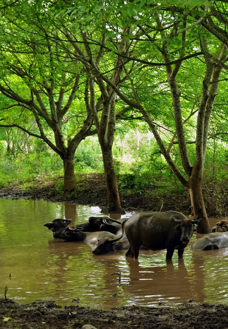 Extensive #environmental damage caused by water buffalo in #TanjungRinggit Lombok, Indonesia. Asia's largest eco-development: http://ecoregions.co.id/master-planning/landscape-strategy/