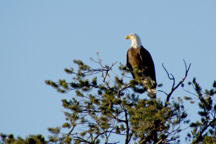 Grand Canyon - Bald Eagle