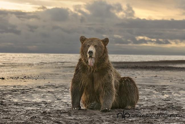 Brown bear sitting on beach at sunrise;  Lake Clark, Alaska in wild. © Nathan Lovas   Great North American mammal and bird photography throughout!