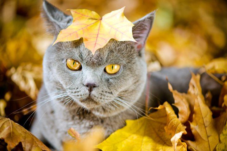 kot brytyjski krótkowłosy, kot, rasy kotów
