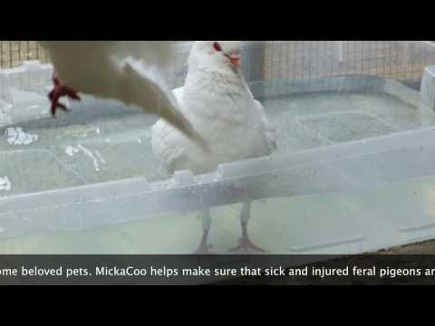 Pigeon PSA from MickaCoo