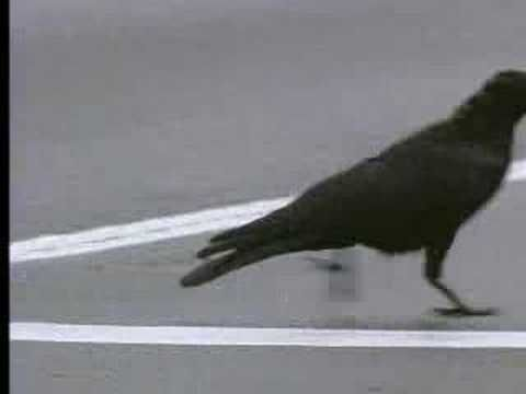 Crows are ridiculously intelligent. This film shows how wild crows inhabiting the city use it to their advantage, where as the article at the other link talks about how crows recognize and remember faces. http://www.nytimes.com/2008/08/26/science/26crow.html?_r=1#