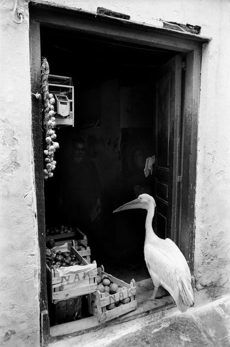 Petros the pelican, Mykonos, Greece, 1964, by René Burri