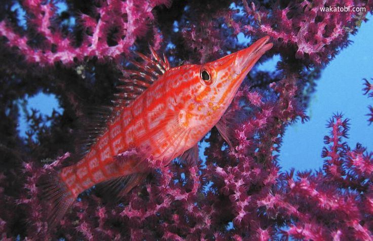 The Longnose hawkfish likes to rest on the branches or in the midst of a sea fan typically seeking the high ground from where they can survey their surroundings. Perched from a good vantage point like a hawk on an outstretched tree branch, they can dart out to grab small crustaceans or other invertebrates, as well as fish swimming by. (Photograph: Lynne Fieber)