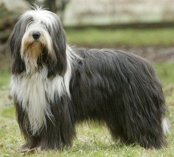 Bearded Collie dog breed -- MUST have lots of exercise