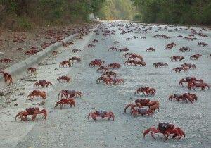 Red Crab Migration of Christmas Island via @truenomads