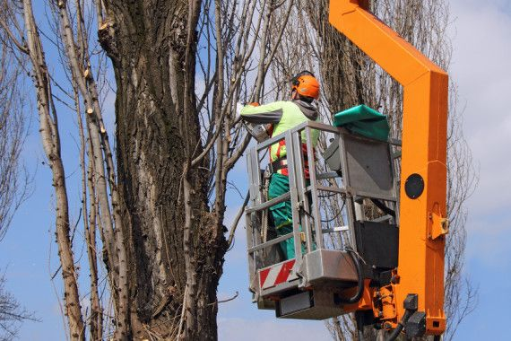 Tree pruning. Sometimes timber trees too grown can become a danger in case of gust of wind or storms.