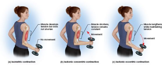 Isometric and Isotonic contractions! There are different types of muscle contraction such as isometric versus isotonic and concentric versus eccentric. Isometric contraction is contraction without a change in length. The isometric contraction is important in keeping the joint stable at rest.  Isotonic contraction is a contraction with a change in length but no change in tension. Muscle shortens and is able to move the load. Concentric contraction-muscle shortens. Eccentric…