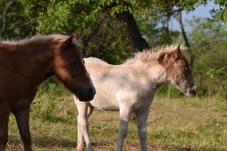 poney blanc poney marron
