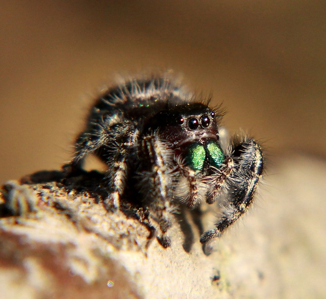 Jumping spider | Spider, Insects and Animal Jumping Spider Web