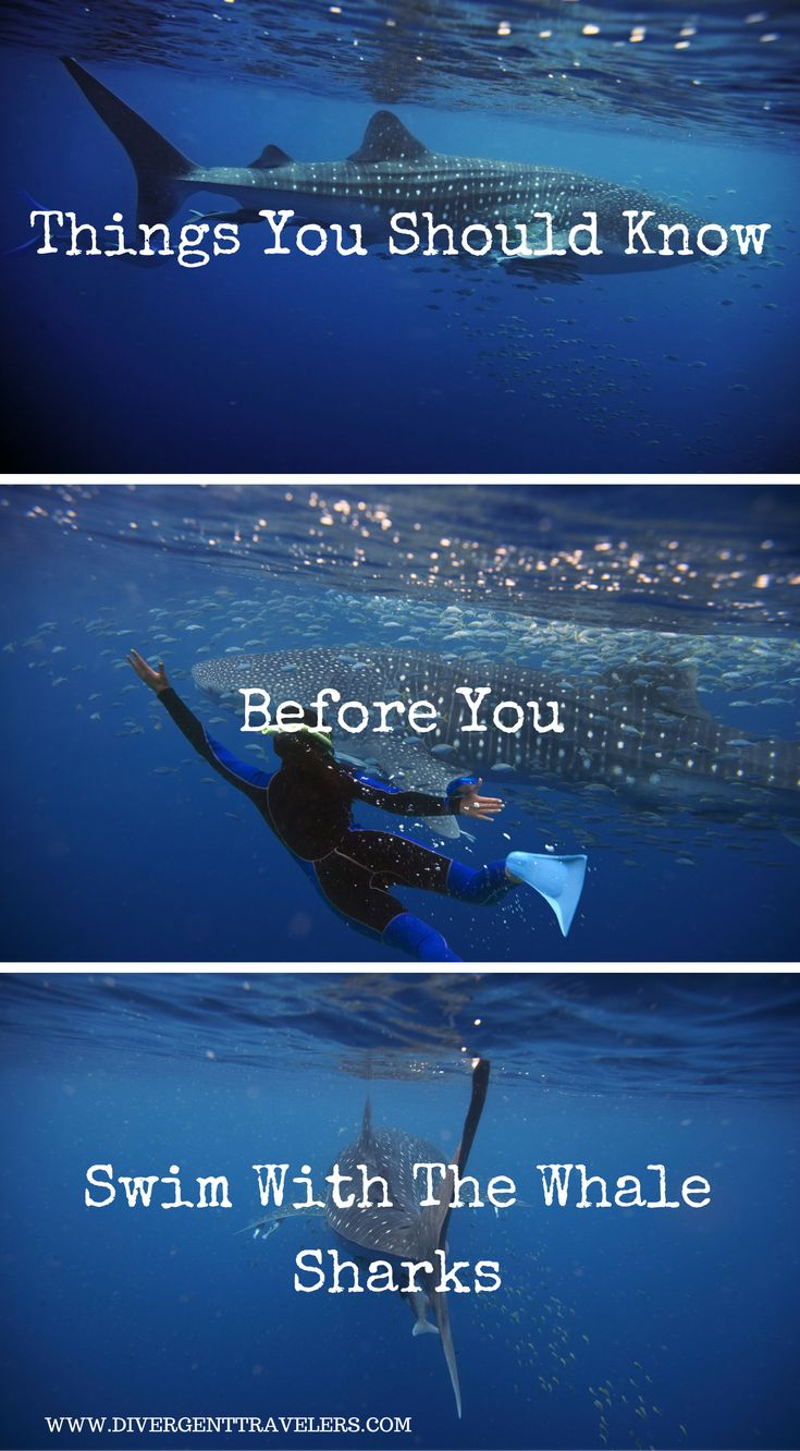 Things you should know before you swim with the whale sharks. Along With More Things to Think About- Whale Shark Swimming Cancun. Click to read more at http://www.divergenttravelers.com/whale-sharks-cancun-mexico/