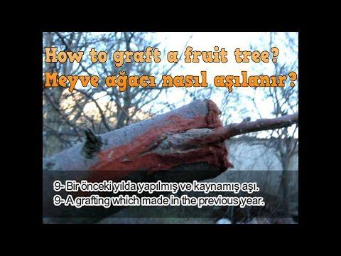 Meyve ağaçları nasıl aşılanır? - How to graft a fruit tree ? - YouTube
