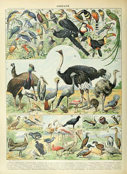 Birds illustration of the Nouveau Larousse illustré, Adolphe Millot, public domain via Wikimedia Commons.