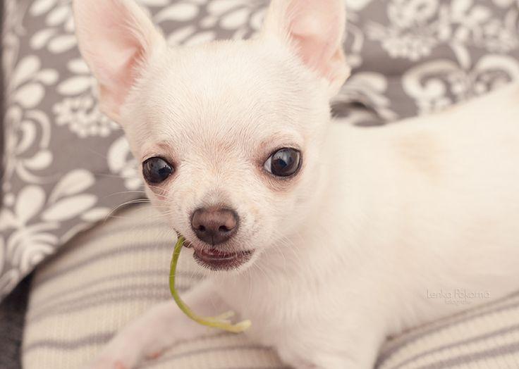 Roxy - Chihuahua