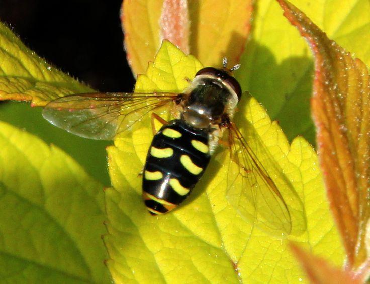 terrasjeskommazweefvlieg, ook wel terrasjeszwever (Eupeodes corollae)