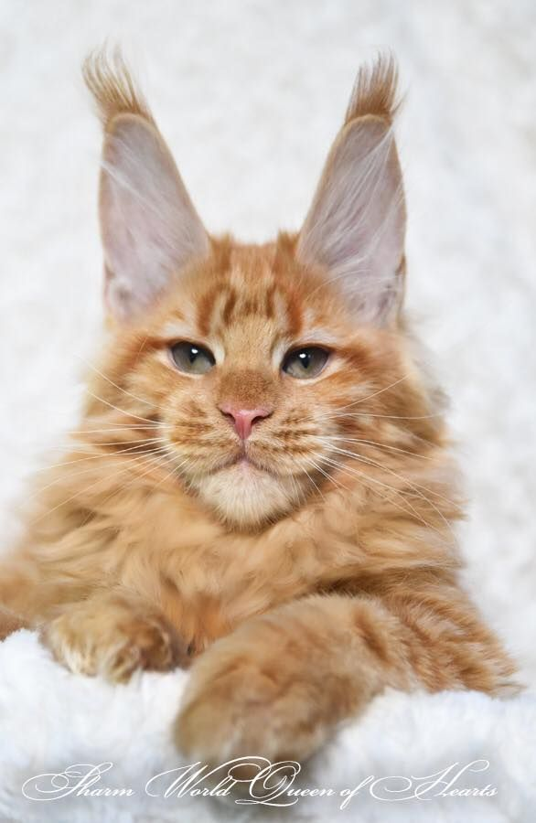 Sharm World Queen of Hearts ❤️❤️❤️ http://www.mainecoonguide.com/male-vs-female-maine-coons/