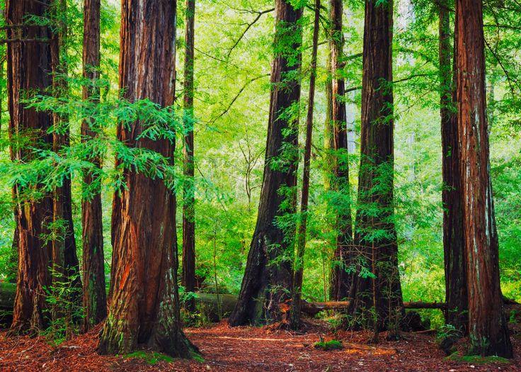 drivethenation.com wp-content uploads 2014 09 Redwood-Forest-1500x1071.jpg