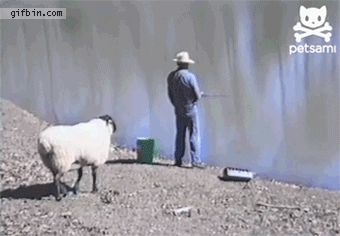 Sheep rams fisherman