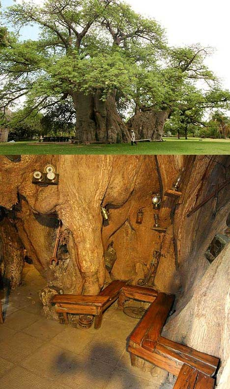 The big One: This bar in the trunk of a Baobab has punters travelling from miles around for a brew. It has been created in a huge 72ft high tree in this garden in Limpopo, South Africa, to keep thirsty locals happy. But tourists flock to see the amazing bar inside the hollow 155ft circumference of the trunk. The tree even has its own cellar, with natural ventilation to keep the beer cool. The huge tree, in the grounds of Sunland Farm, is so wide it takes 40 adults with outstretched!!