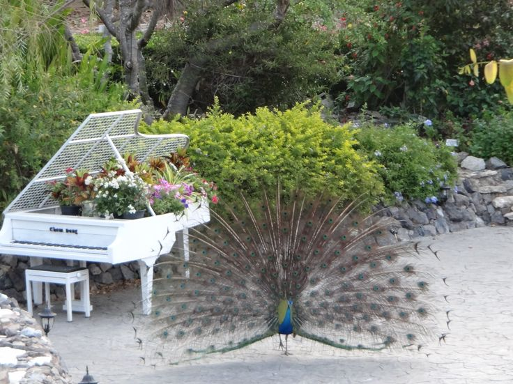 Peacock displaying next to piano planter